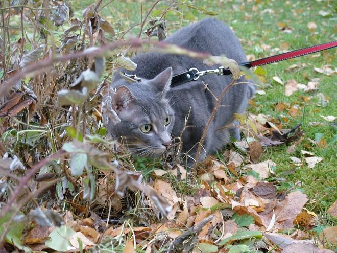 Kissa ulkona valjaissa